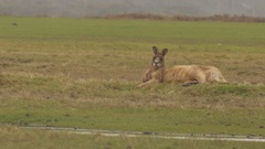 Forester kangaroo relaxing on grass Stock Footage