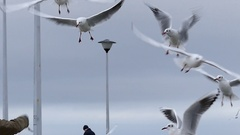 A Girl`s Hand Throwing Bread to Seagulls Flying Over a White Sea Pier With Stock Footage