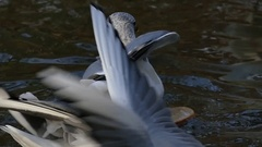 Lazy and Overeaten Seagulls Floating Between Pieces of Bread in River in Slo-Mo Stock Footage
