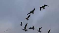 A Flock of Seagull Flying in Strong Wind With a Grey Cloudy Sky in the Stock Footage