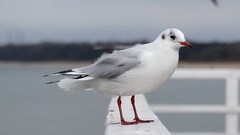 A Seagull Sitting on a White Concrete Pier Fence in a Windy Weather Stock Footage