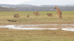 Forester kangaroos relaxing on grass Stock Footage