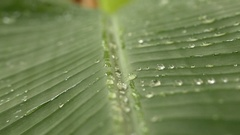 Wet Banana Leaf After The Rain Stock Footage