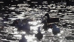 A Flock of Seagulls Flying Over Sparkling River Waters With Floating Ducks in Stock Footage