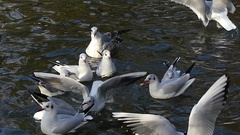 A Flock of Seagulls Flying Over Pond Wates and Fighting For Food in Slow Motion Stock Footage