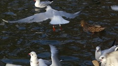 A Flock of Seagulls Seeking Food and One Seagull Dropping a Big Slice of Bread Stock Footage