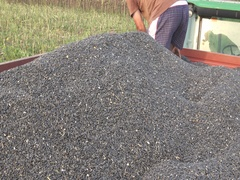 Sunflower Harvest ,farmer in trailer checking quality Stock Footage