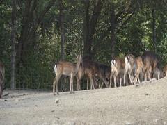 Roe deer ,Capreolus capreolus in the zoo Stock Footage