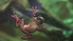 The frog stopped at the aquarium glass. Frog legs Stock Footage