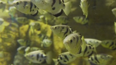 Yellow fish with black stripes. Beautiful and rare fish Stock Footage