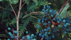 Blueberry growing in a botanical garden Stock Footage