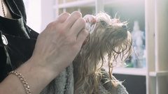 Ear cleaning in dogs. Caring for Yorkshire Terrier grooming at the salon Stock Footage