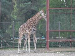 Giraffe, Giraffa camelopardalis in the zoo Stock Footage