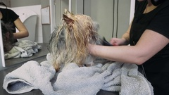 Drying of the coat of the Yorkshire Terrier. Washing and grooming dogs. Stock Footage
