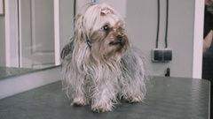 Yorkshire Terrier grooming at the salon. Health dogs and pet care Stock Footage