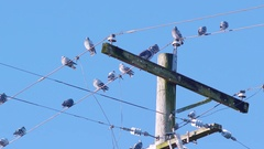 Group of Pigeon Birds Sitting on a City Power Line Pole and Wire Stock Footage