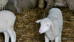 Sheep and Lambs on Farm Animals Stock Footage