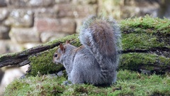 Grey / Gray Squirrel ( Sciurus carolinensis ) feeding. Close-up Stock Footage