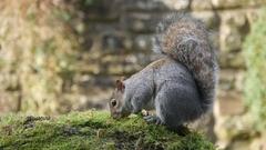 Grey / Gray Squirrel ( Sciurus carolinensis ) feeding. Close-up Stock Footage