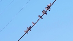 Pigeon Birds Grouping Together on a Wire then Taking Flight Stock Footage