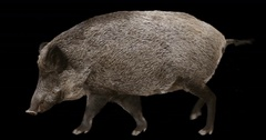 Wild boar is walking. Animation is cyclic and isolated. Alpha channel. Stock Footage