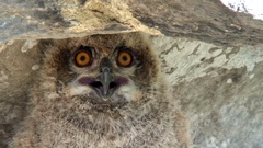 Young Eurasian eagle-owl Stock Footage
