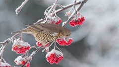 Mistle Thrush. Feeding of rowan berries in the winter time. Stock Footage