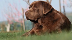 Brown labrador lying on the grass in spring Stock Footage