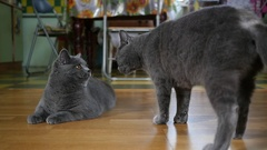 Pets cats suddenly attack and fight with each other at home indoors slow motion Stock Footage