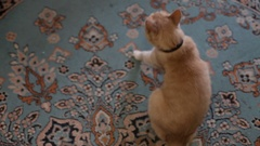 Cat.cat scratching himself with his paw Stock Footage