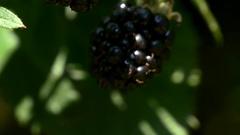 Blackberry close up tilt camera Stock Footage