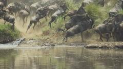 Crocodile Attacks wildebeest crossing Mara river Stock Footage