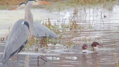 Common Merganser. Feeding female in winter time. Stock Footage
