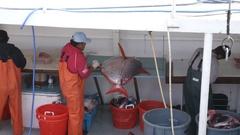 Commercial Fishing Wild Caught Market Preparation Job Work Food Opah Moonfish 4k Stock Footage