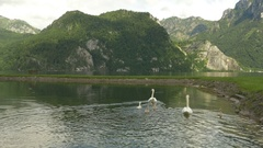 Traunsee and swan family, Austria Stock Footage