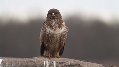 Buzzard in the forest in Hungary Stock Footage