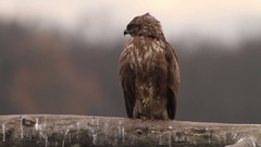 Buzzard flying in the forest in Hungary Stock Footage