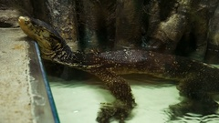 Varanus lizard relaxing in aquarium Stock Footage