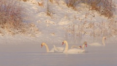 Mute Swans fighting for food. Morning on winter pond. Strong frost. Stock Footage