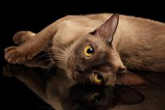 Brown burmese cat isolated on black background Stock Photos