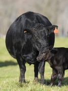 A Black Angus Cow and Calf Stock Photos