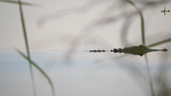 Rack Focus From Branch to Alligator in Lake, 4K Stock Footage