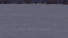 Snowy owl pan to bird in a field Stock Footage