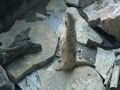 Meerkat ,Suricata suricatta looking Stock Footage