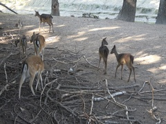 Roe deer in the zoo,Capreolus capreolus Stock Footage
