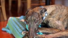 Greyhound Dog lies around Stock Footage