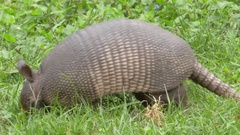 Armadillo Foraging in Grass, 4K Stock Footage