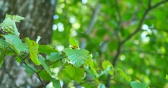 Natural green background. Leaf against bokeh background with len flare Stock Footage