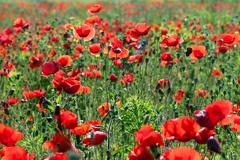 Morning on poppies flower meadow spring season Stock Photos