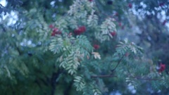 Berries and green leaves of a mountain ash on a branch in the snow, slow motion Stock Footage